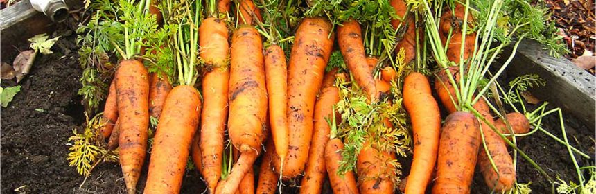 carrots, vegetable garden tour