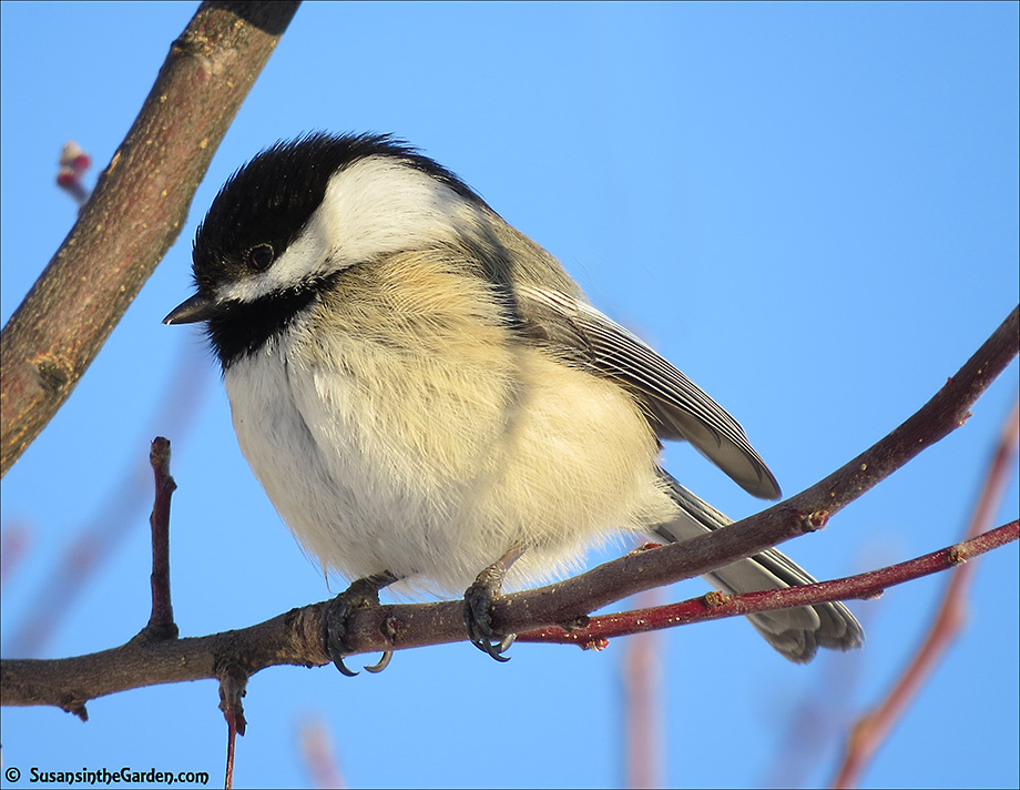 Chickadee Black Capped Susan S In The Garden