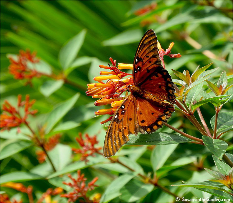 This Beautiful Orange And Black Butterfly (photo To Left) Is A Gulf  Fritillary. And The Top Photo Is Of A Zebra Heliconium.