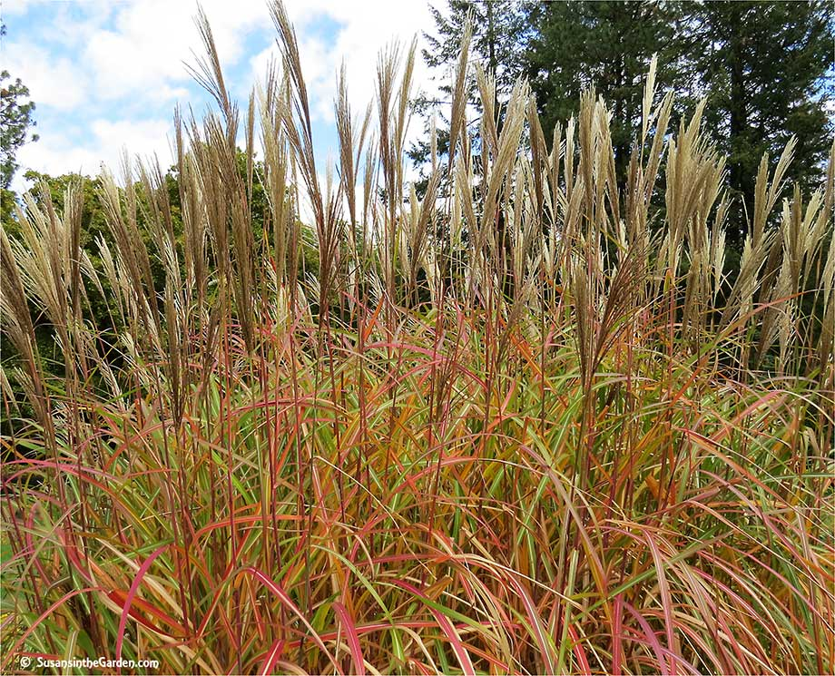 Ornamental grasses add texture to the landscape susan 39 s for Very tall ornamental grasses