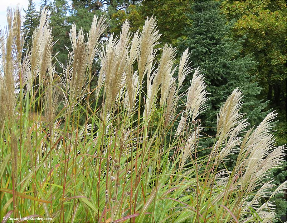 Ornamental grasses add texture to the landscape susan 39 s for 6 foot tall ornamental grass