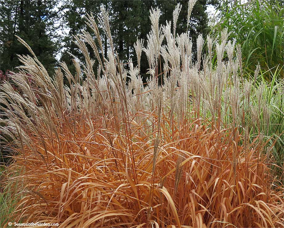 ornamental grasses add texture to the landscape susan 39 s. Black Bedroom Furniture Sets. Home Design Ideas