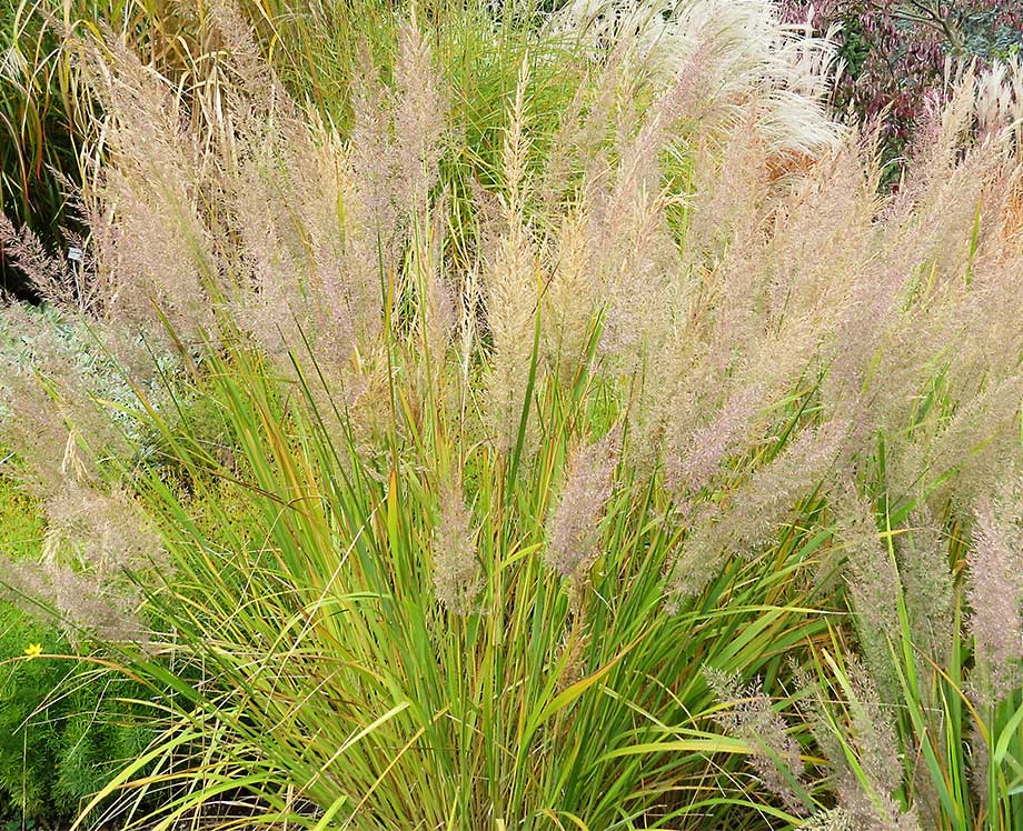 Ornamental grasses add texture to the landscape susan 39 s for Ornamental japanese grass