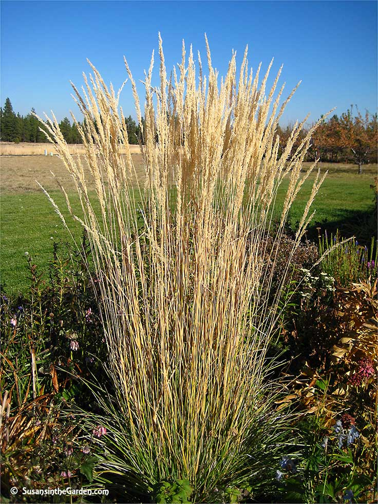 Ornamental grasses add texture to the landscape susan 39 s for Tall feather grass