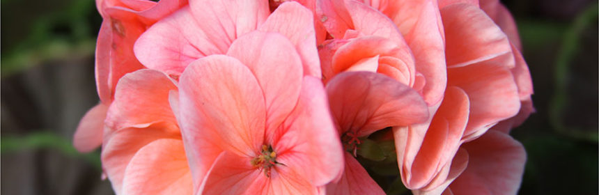 overwintering geraniums, how-to gardening videos