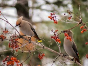waxwings, attracting birds