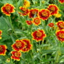 zinnias, Late Bloomer