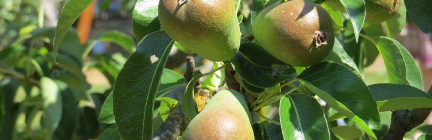 pears, Portrait of a Garden