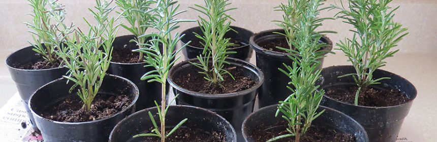growing rosemary from cuttings