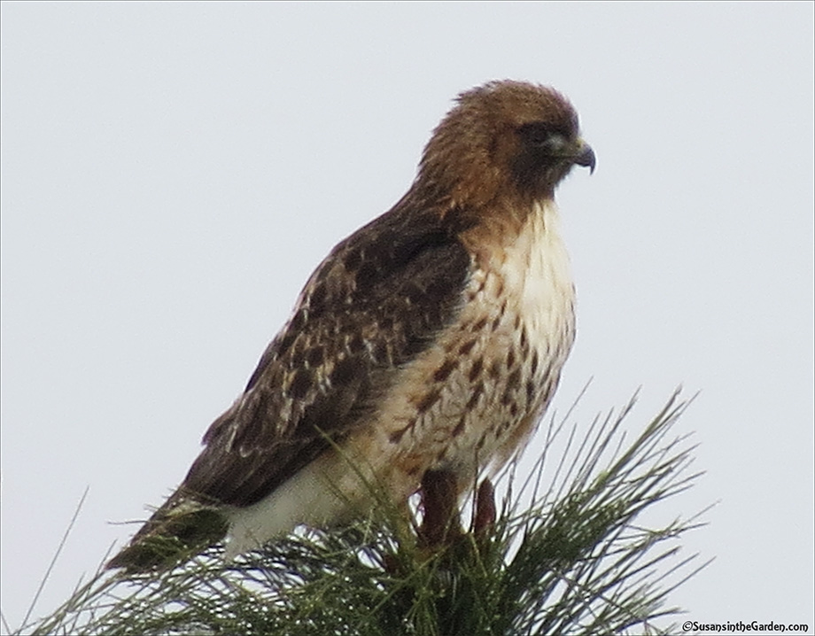 red tailed hawk susan s in the garden