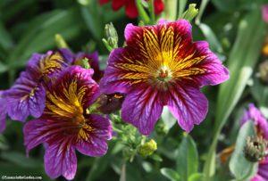 salpiglossis, cut-flower garden