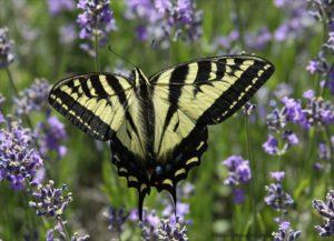 butterfly, Gardening for Butterflies