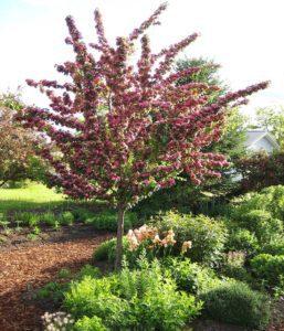 hawthorn, trees