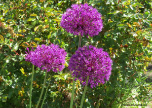 spring flowers, Allium Purple Sensation