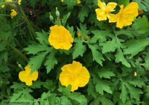 Celandine poppy, spring flowers
