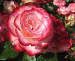 rose show