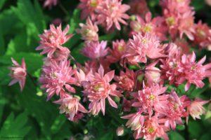 spring flowers, columbine