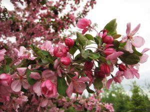 spring flowers, flowering crabapple