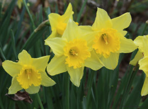 daffodil, spring flowers
