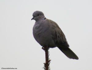 Dove Eurasian Collared