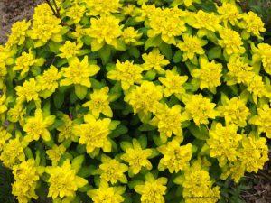 Euphorbia polychroma, spring flowers