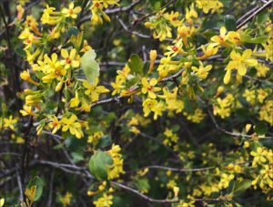 golden currant, spring flowers