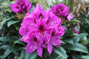 rhododendron, spring flowers