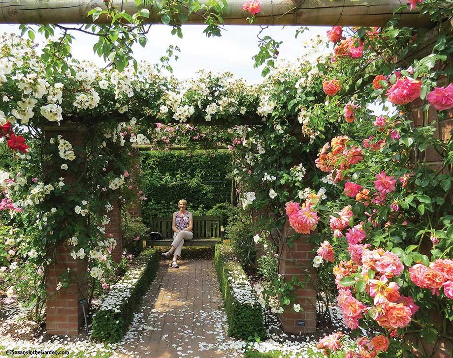 Elegant David Austin Roses