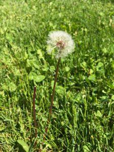 dandelion, weed strategies