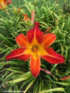 daylilies August Flame