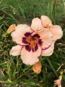 daylilies Festive Art