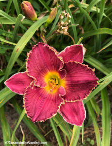 daylilies Lord of Lightning