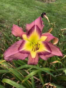 daylilies Purple Cheetah