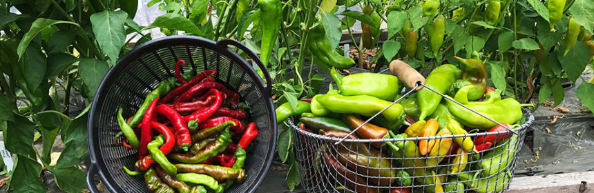 Harvest Vegetables, peppers