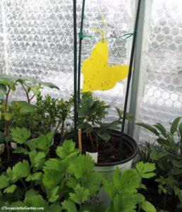 whiteflies, fungus gnats
