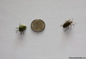 green stink bugs