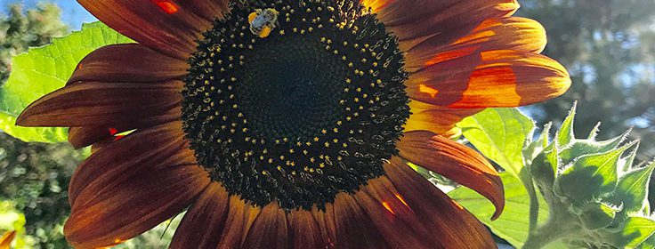 sunflower, season wrap-up