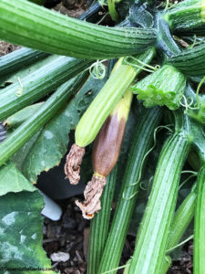 blossom end rot, zucchini