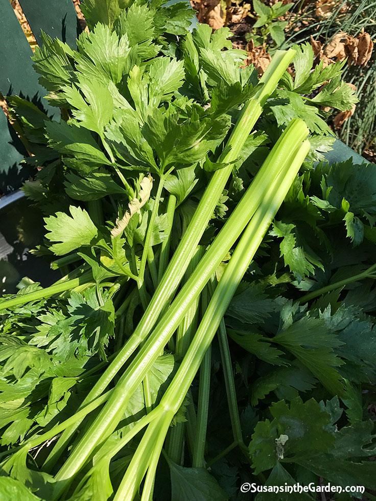 Harvesting Celery