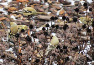 fall clean-up, goldfinches