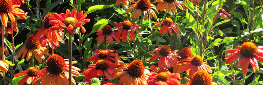 Friends of Manito, coneflowers
