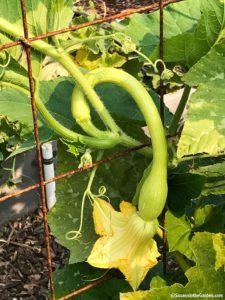 Trombone zucchini