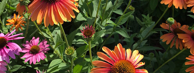 survey, giveaway, coneflowers