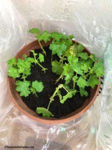 geranium cuttings