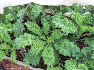 Hoop house, kale