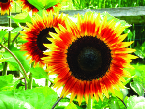 Seeds, Burpee, sunflower Firecatcher