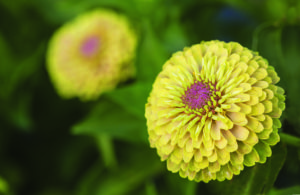 Seeds, Burpee, Zinnia Queen Lime with Blush