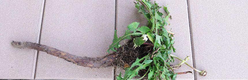 weeds, dandelion