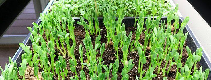 grow microgreens