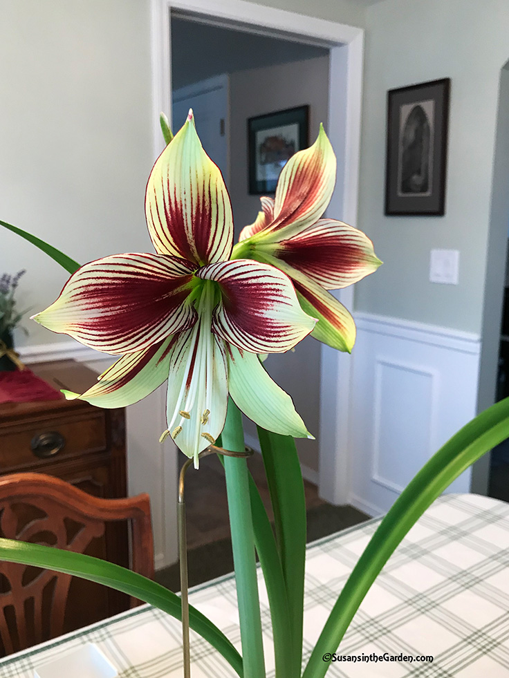 Amaryllis After Care Susan S In The Garden